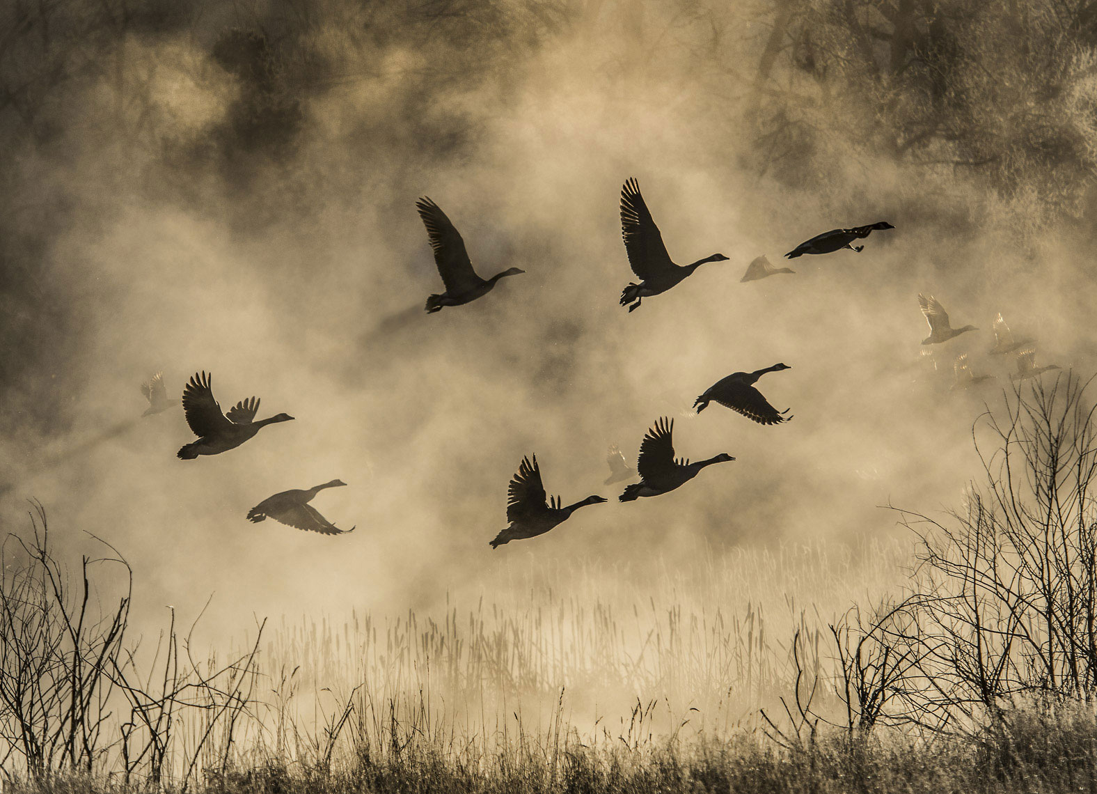 Geese on Yellowstone River